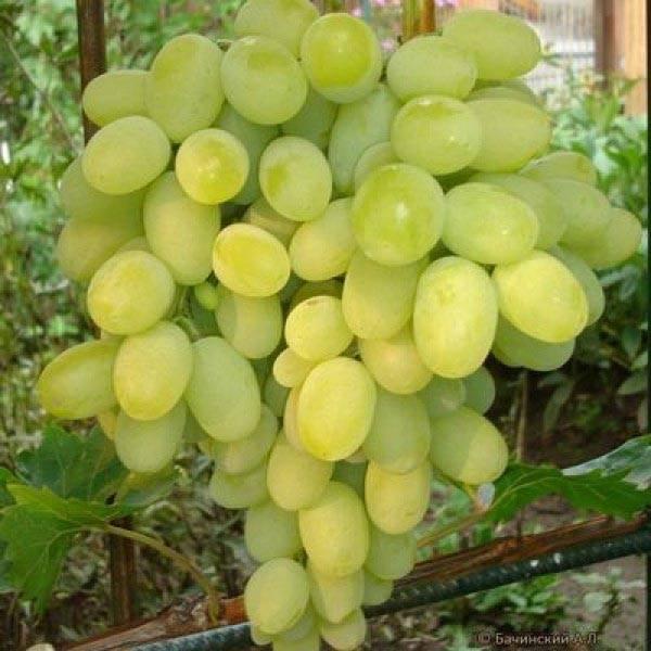 Виноград вэлиант: что нужно знать о нем, описание сорта, отзывы