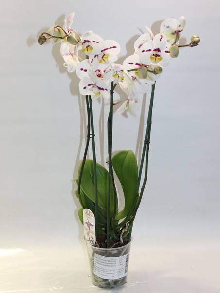 Голубая орхидея: уход после покупки в домашних условиях. полив, освещение, пересадка синего фаленопсиса