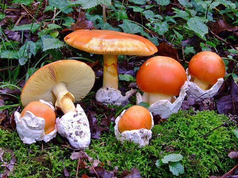 Царский, цезарский, яичный гриб - фото и описание.