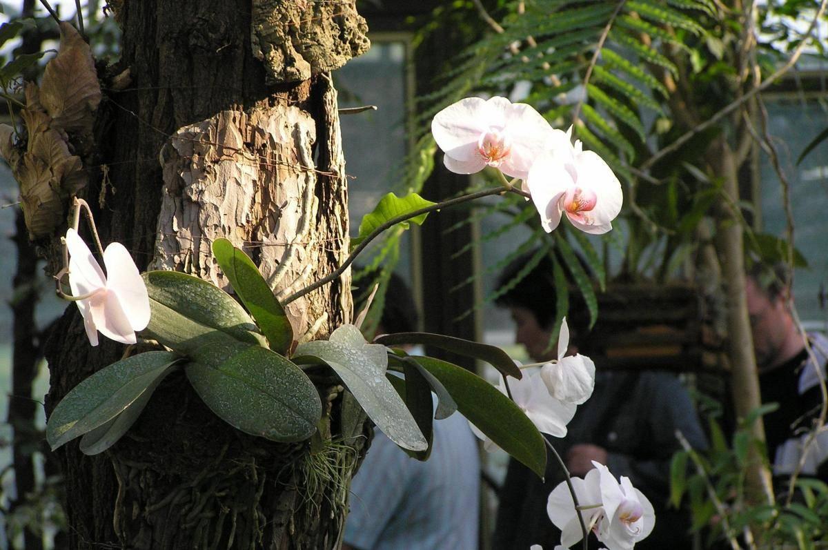 Орхидея «Фаленопсис»: описание, фото, уход в домашних условиях