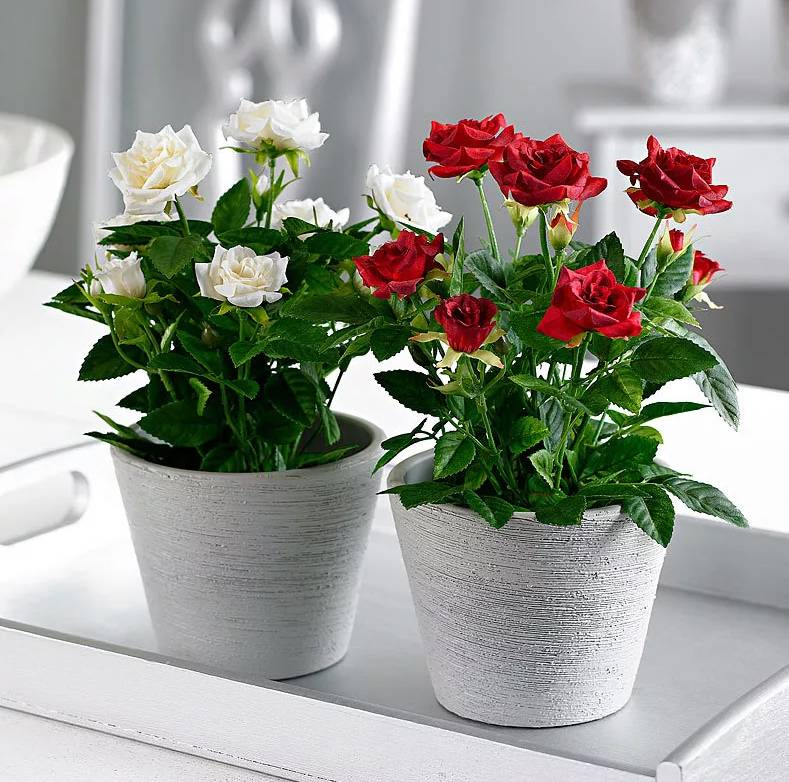 Роза комнатная уход в домашних условиях, сорта