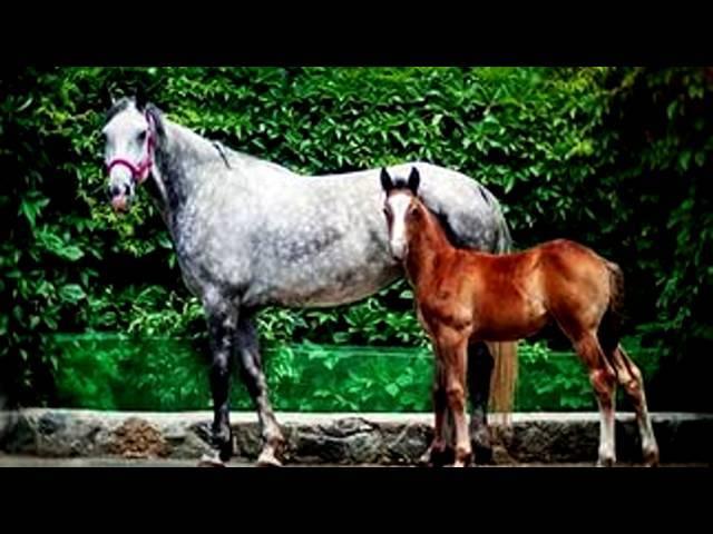 ✅ русский рысак порода лошадей: вид и описание, разновидности, фото - tehnoyug.com