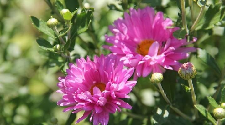 Семена хризантем: описание с фото, виды, особенности посадки, выращивания и ухода - sadovnikam.ru