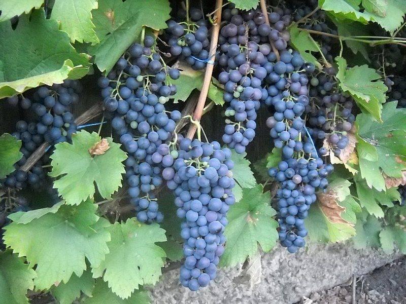 Виноград «черный жемчуг»: особенности сорта, агротехника и применение