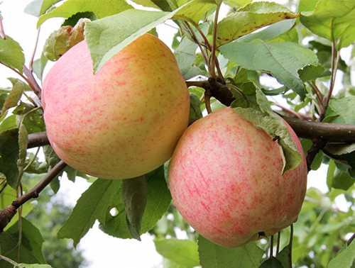 Яблоня сладкая нега: описание сорта и характеристики, регионы выращивания с фото - о цветах