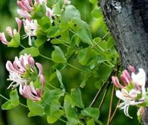 Жимолость каприфоль – ароматная лиана с яркими плодами