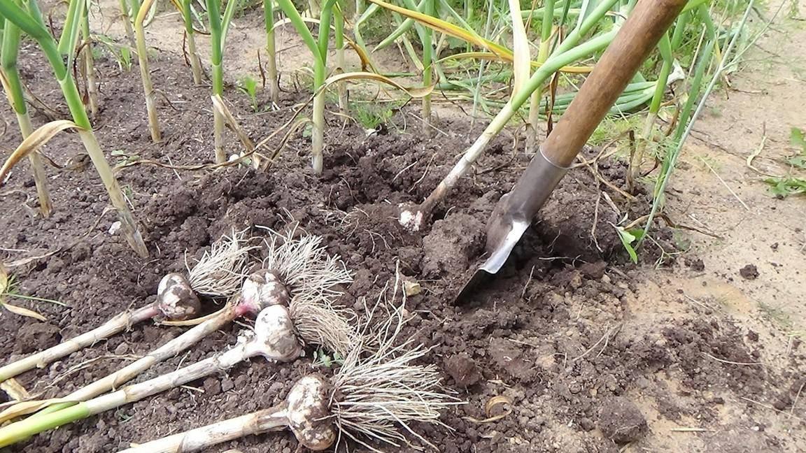 Как правильно убирать чеснок с грядки и хранить его   мир садоводства