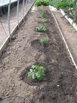 Посадка перца в открытый грунт рассадой – когда и как высаживать, правильно, схема, расстояние