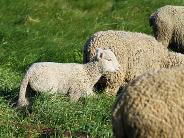 Овца животное. описание, особенности, виды, образ жизни и среда обитания овцы   живность.ру
