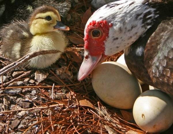 Индоутка птица. описание, особенности, виды, уход и содержание индоуток | живность.ру