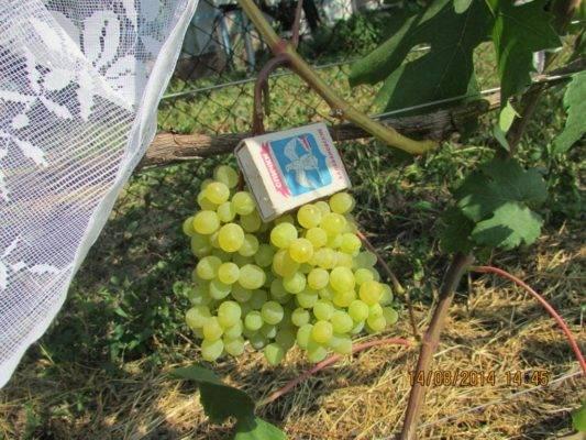 Сорт винограда русбол: легкий уход и отличный урожай