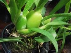 Эпифитные орхидеи: что это, описание и уход в домашних условиях с фото и видео