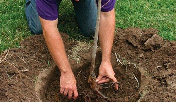 Как посадить грушу весной и осенью — пошаговое руководство