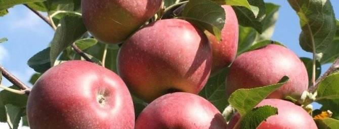 Яблоня лобо: описание, фото, недостатки и достоинства сорта