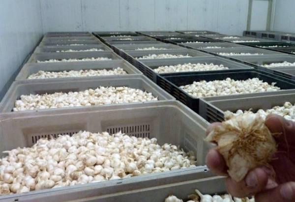 Умеете выращивать и солить чеснок? получите 415 000 руб. прибыли за сезон! реальная история пенсионера из воронежской области