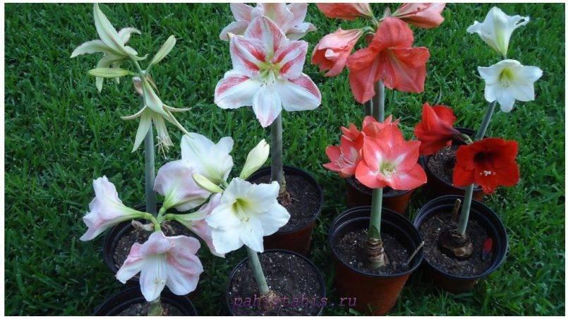Амариллис: лучшие сорта, выращивание и пересадка
