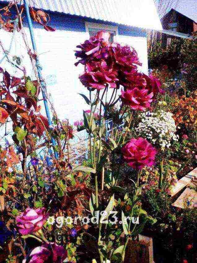 Эустома (100 фото) - посадка, уход, выращивание, болезни +отзывы