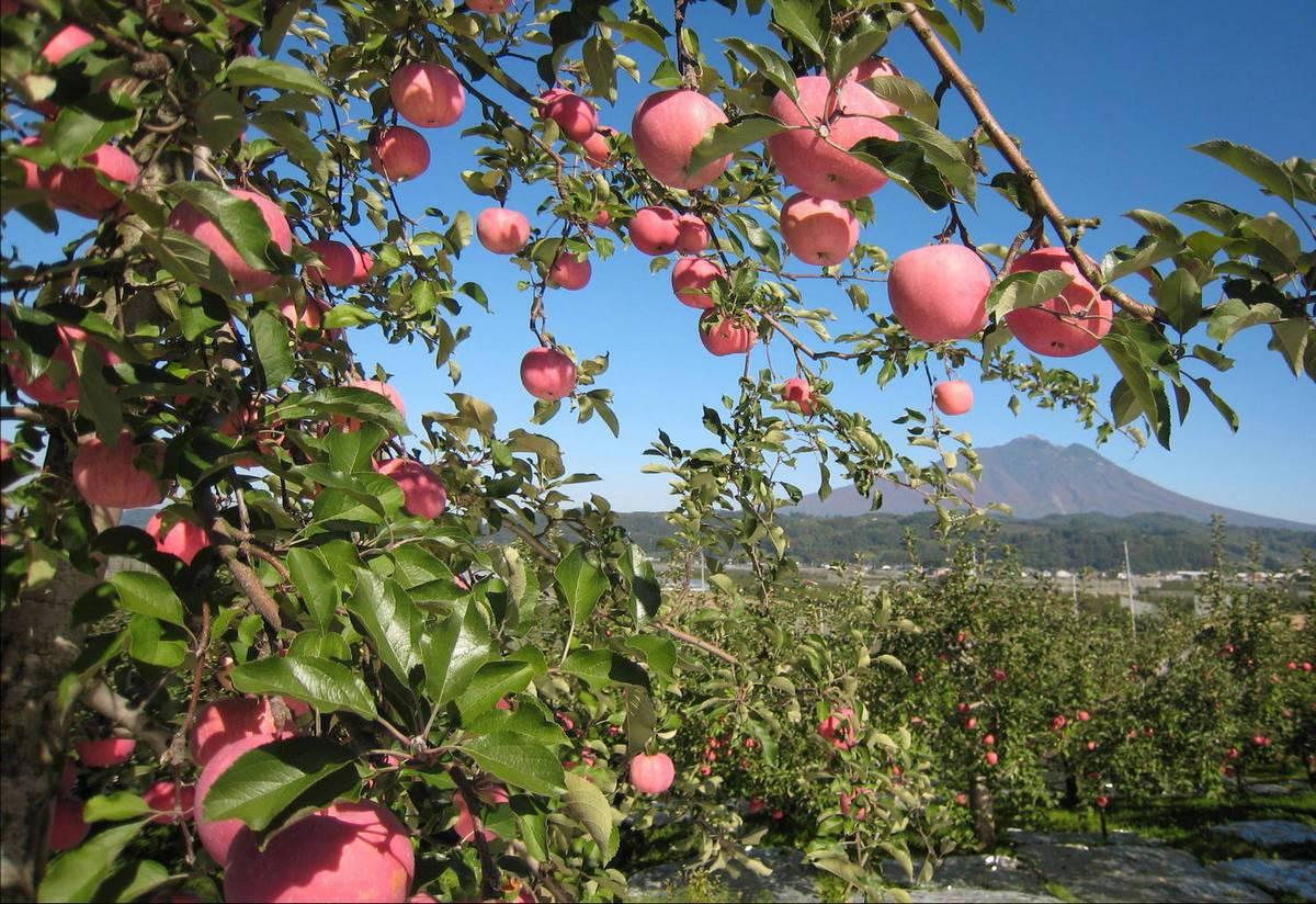 Яблоня легенда отзывы садоводов