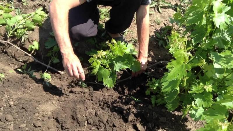 Девичий виноград – особенности выращивания. способы размножения, полив, подкормки. сорта для средней полосы