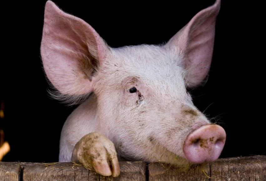 Сколько живут свиньи – факторы, породы