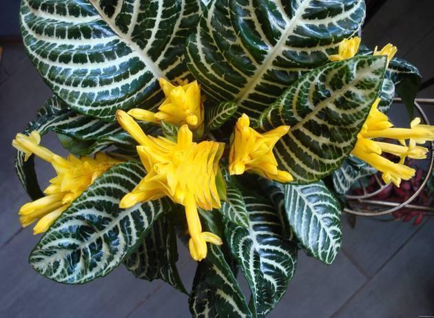 Афеландра (41 фото): уход за комнатным цветком в домашних условиях, размножение растения, виды афеландра оттопыренная и скуарроса «дания»