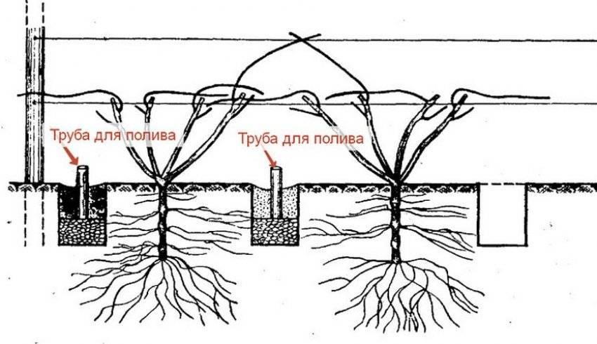 Как сделать капельный полив винограда