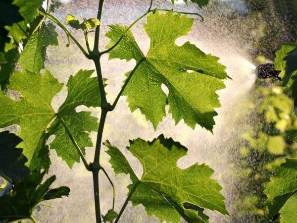 Как бороться с клещами на винограде: чем обрабатывать лозу от виноградного зудня и паутинного клеща