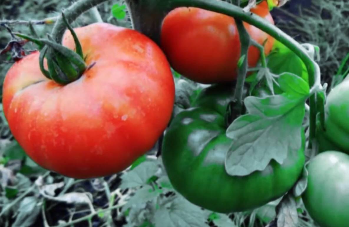 Сорт помидор «космонавт волков»: характеристика и агротехника выращивания