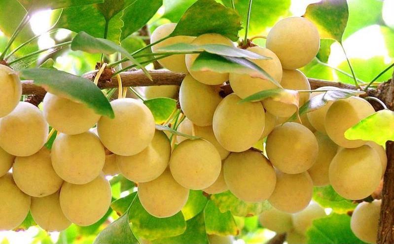 Растение гинкго билоба: выращивание, уход, удобрения и подкормка сорта, посадка, размножение и болезни + фото