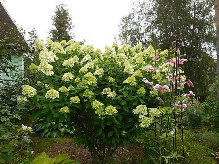 Гортензия метельчатая лаймлайт hydrangea paniculata «limelight»