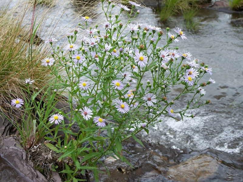 Сентябринки цветы размножение посадка и уход фото