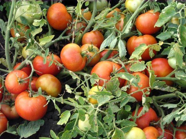 Томат агата - описание сорта, характеристика, урожайность, отзывы, фото