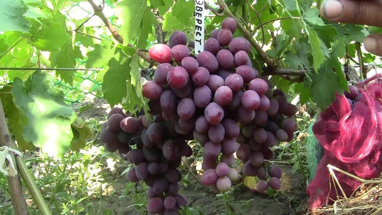 """Виноград """"эверест"""": описание сорта, правила ухода, фото и отзывы"""