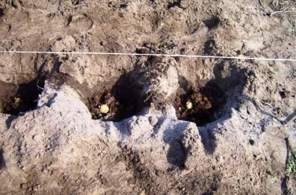 Расстояние между рядами картофеля при посадке - сельская жизнь