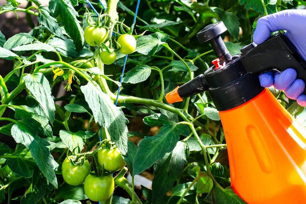 Чем опрыскивать помидоры: советы по выбору составов для роста и отпугивания вредителей (105 фото)