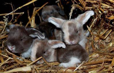 Кролики породы французский баран — фото и описание, характеристика, условия содержания, перспективы разведения.   cельхозпортал