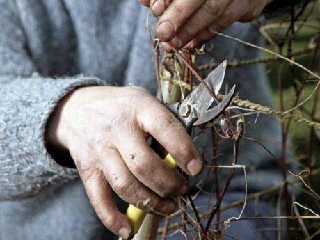 Обрезка клематиса осенью для начинающих в картинках пошагово