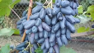 "Виноград ""сувенир"" описание и характеристика одесского сорта с фото"