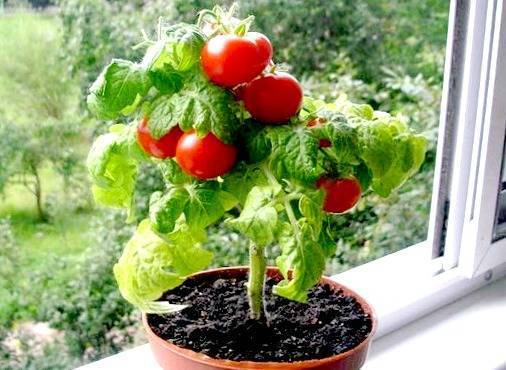 Высадка рассады помидоров в открытый грунт: как сажать томаты правильно?