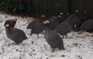 Содержание цесарок зимой: описание, несутся или нет - сельская жизнь