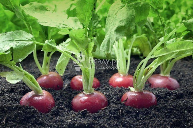 Как сажать редис: выращивание и уход в открытом грунте