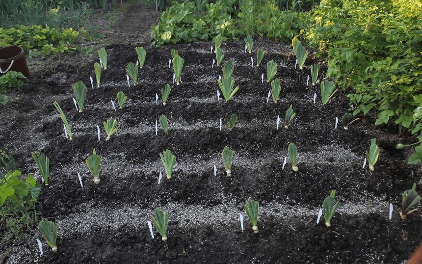 Садовые лилии - посадка и уход на участке, разновидности цветка