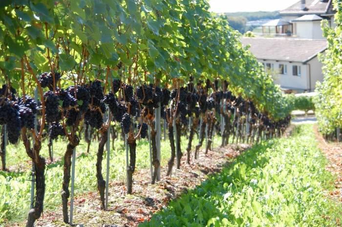Как правильно посадить виноград весной и осенью саженцами и черенками