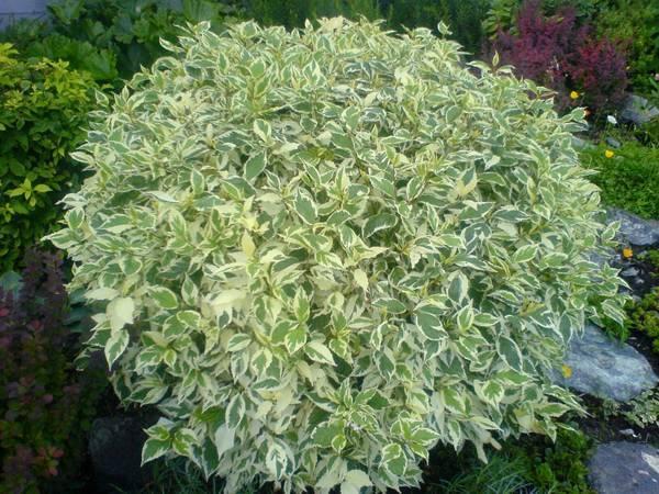 Дерен белый «элегантиссима» (33 фото): описание, посадка и уход за сортом. отличие от «сибирика вариегата». как он быстро растет?
