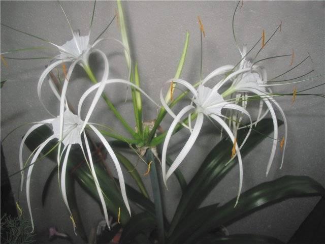 Уход за цветком комнатная лилия в домашних условиях (фото)