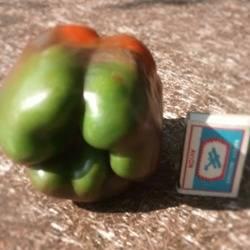 Перец оранжевый бык: отзывы кто сажал об урожайности, характеристика и описание сладкого болгарского сорта, фото семян гавриш, посадка и уход, видео о кусте