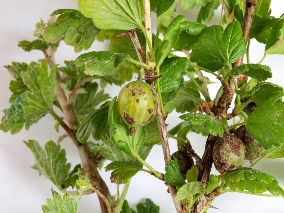 Ягоды крыжовника покрылись коричневым налетом что делать, как убрать коричневые пятна на плодах, бурые пятна на листьях
