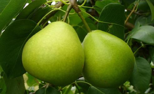 """Груша """"лира"""": фото и описание сорта, агротехнические характеристики selo.guru — интернет портал о сельском хозяйстве"""