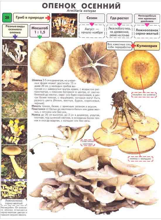 Как выглядят опята - виды, описание гриба, советы по выращиванию опят в домашних условиях (видео и 105 фото)