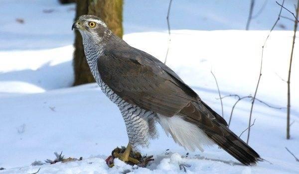 Ястреб-тетеревятник: фото и описание птицы